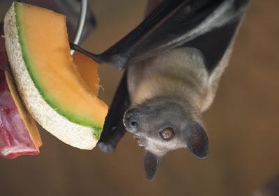 straw-colored-fruit-bat__-apr-2016_tc-14-of-23