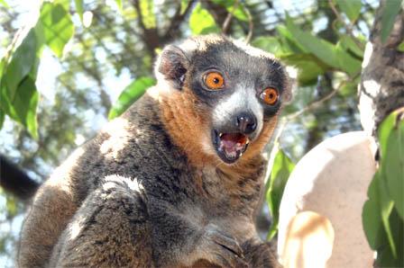 mongoose lemur in a tree