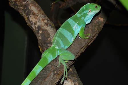 Fiji Island Banded Iguana