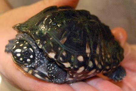 Hamilton's Pond Turtle