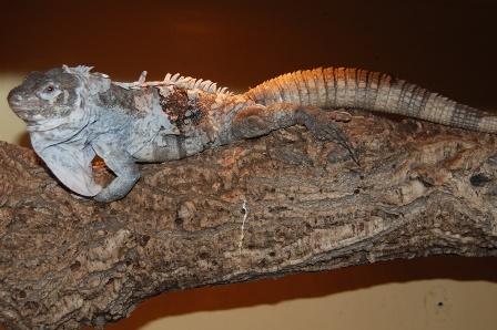 Honduran Dwarf Club-tailed Iguana