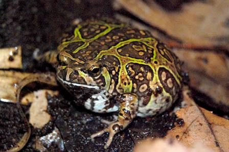 Madagascar Rain Frog