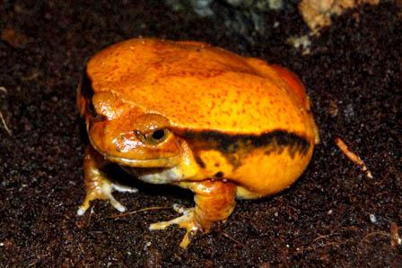Sambava Tomato Frog
