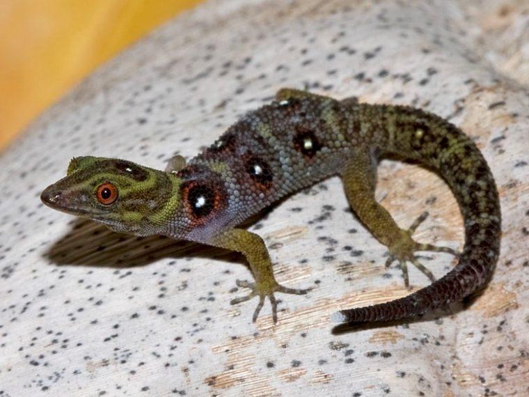 Union Island Gecko