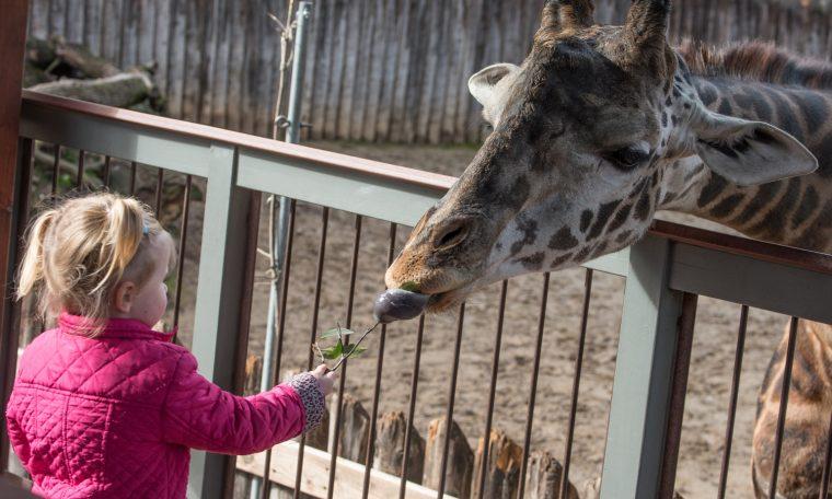 Guest Feeding Giraffe