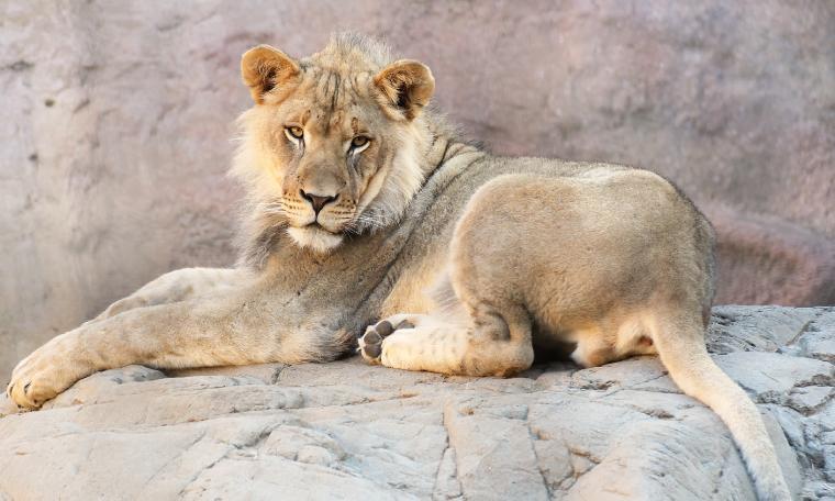African Lion Demarcus