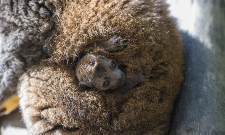 Mongoose Lemur Infant