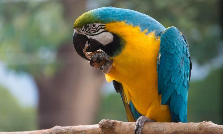 Julio, Blue & Gold Macaw