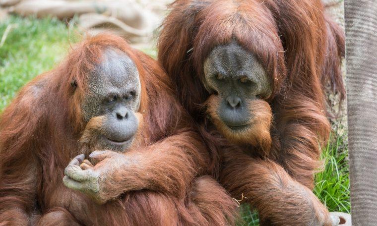 Two Sumatran Orangutans