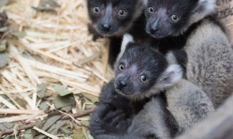 Black and White Ruffed Lemur Infants