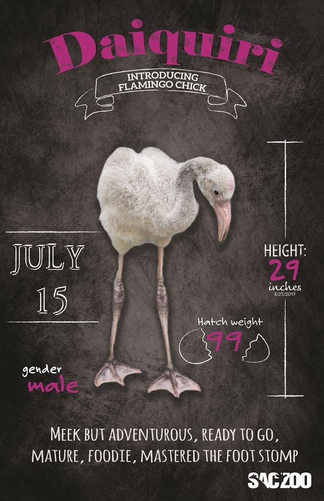 Flamingo chick Daiquiri