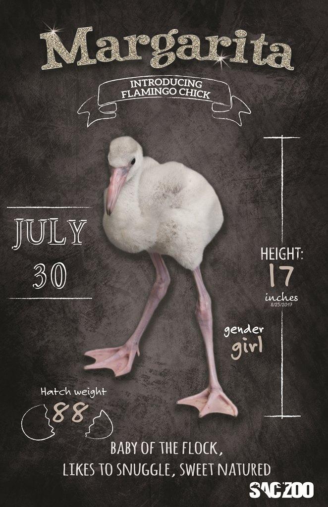 Flamingo chick Margarita