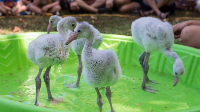 Flamingo Chicks