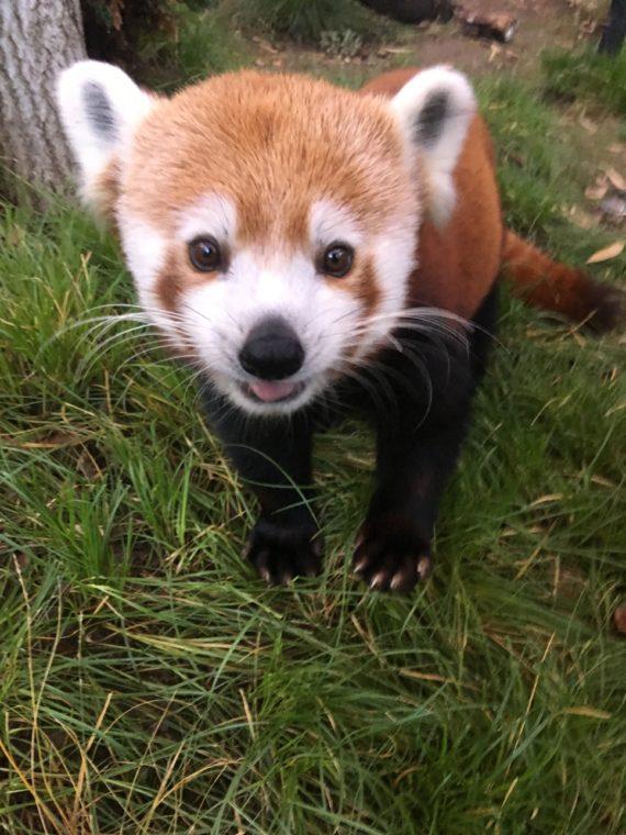 Benjamin Red Panda