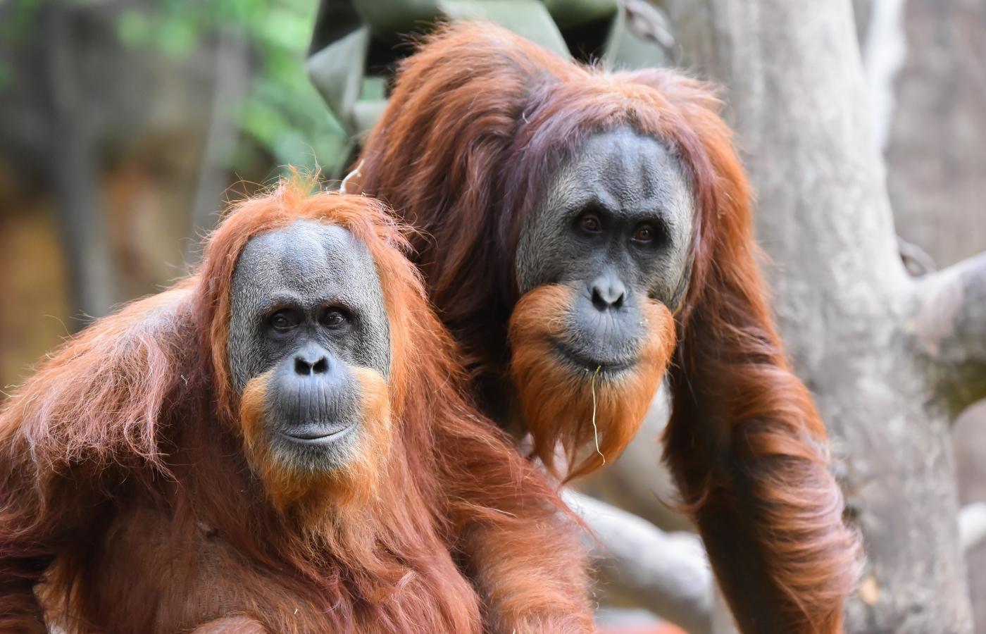 sumatran orangutan birthday bash
