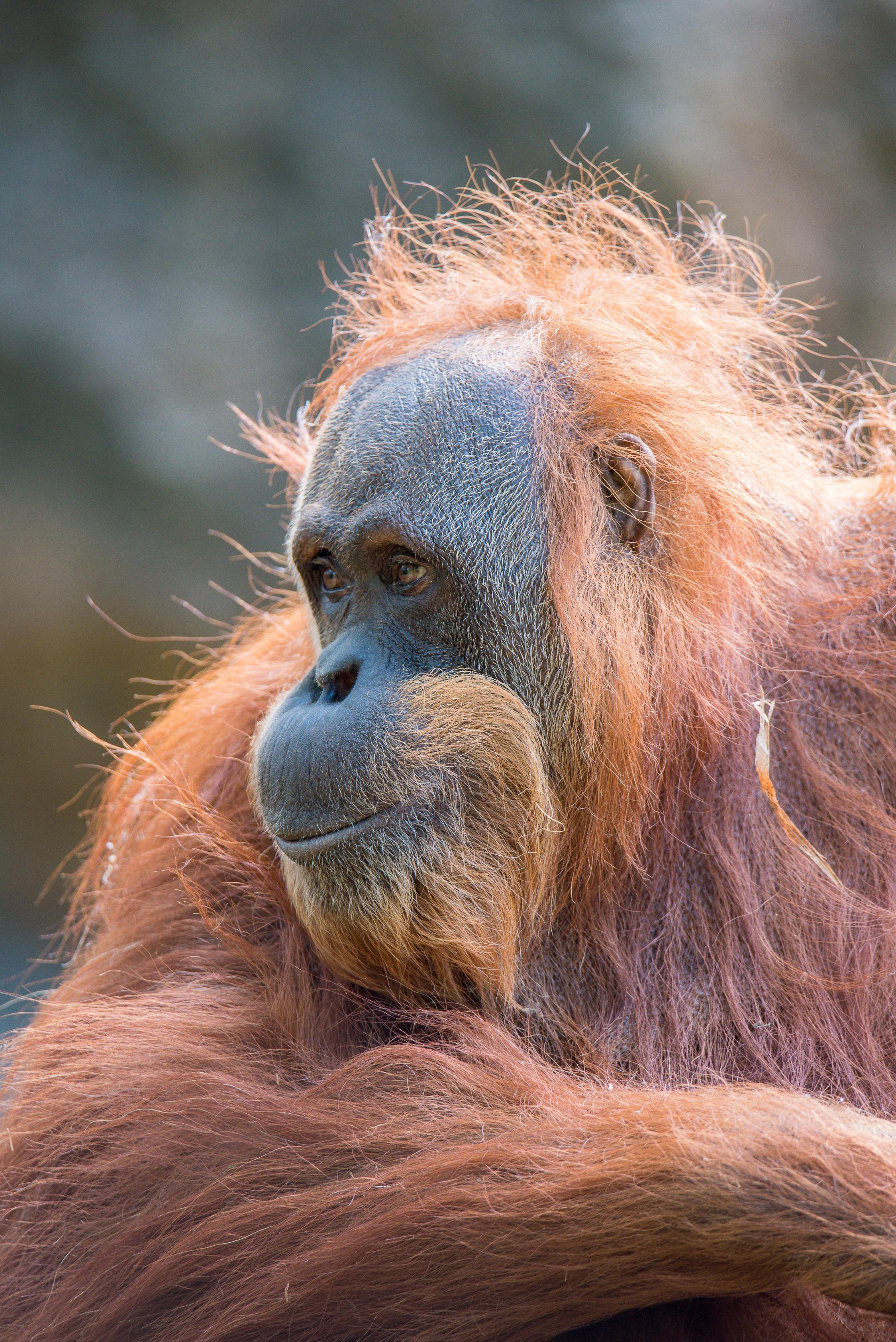 Sumatran Orangutan Birthday Bash | Sacramento Zoo