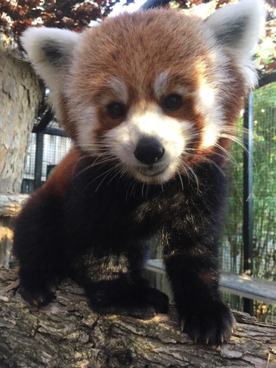 Amaya the red panda