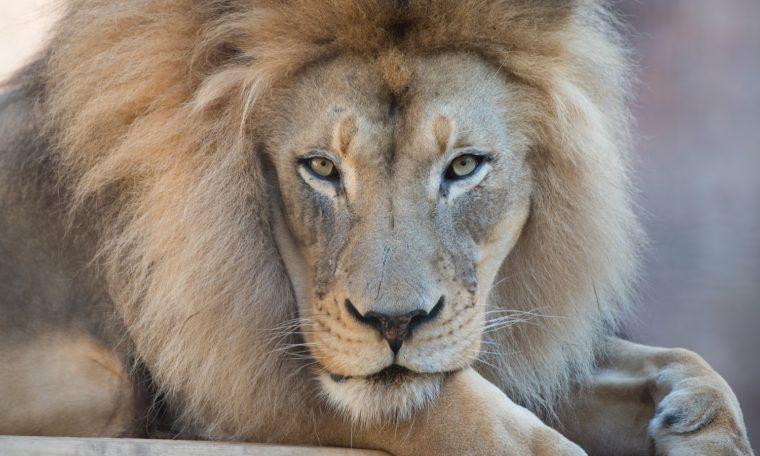 African Lion, Kamau