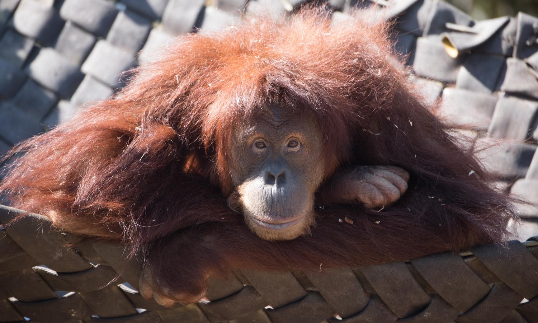 Indah the Orangutan