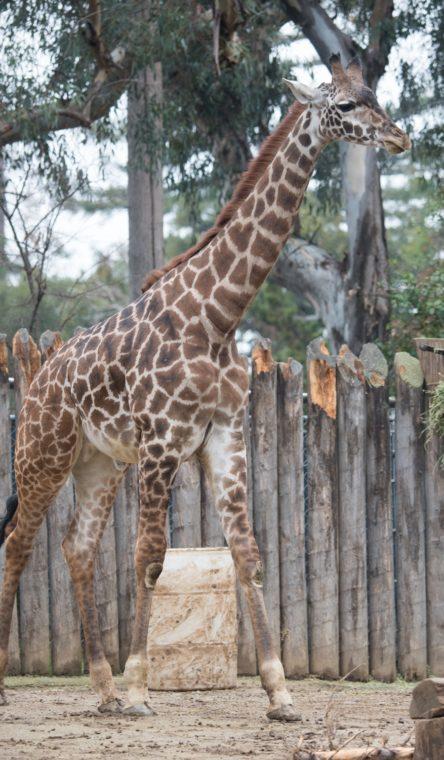 Rocket, Masai giraffe