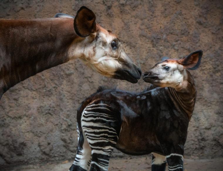 Okapi Mother and Offspring