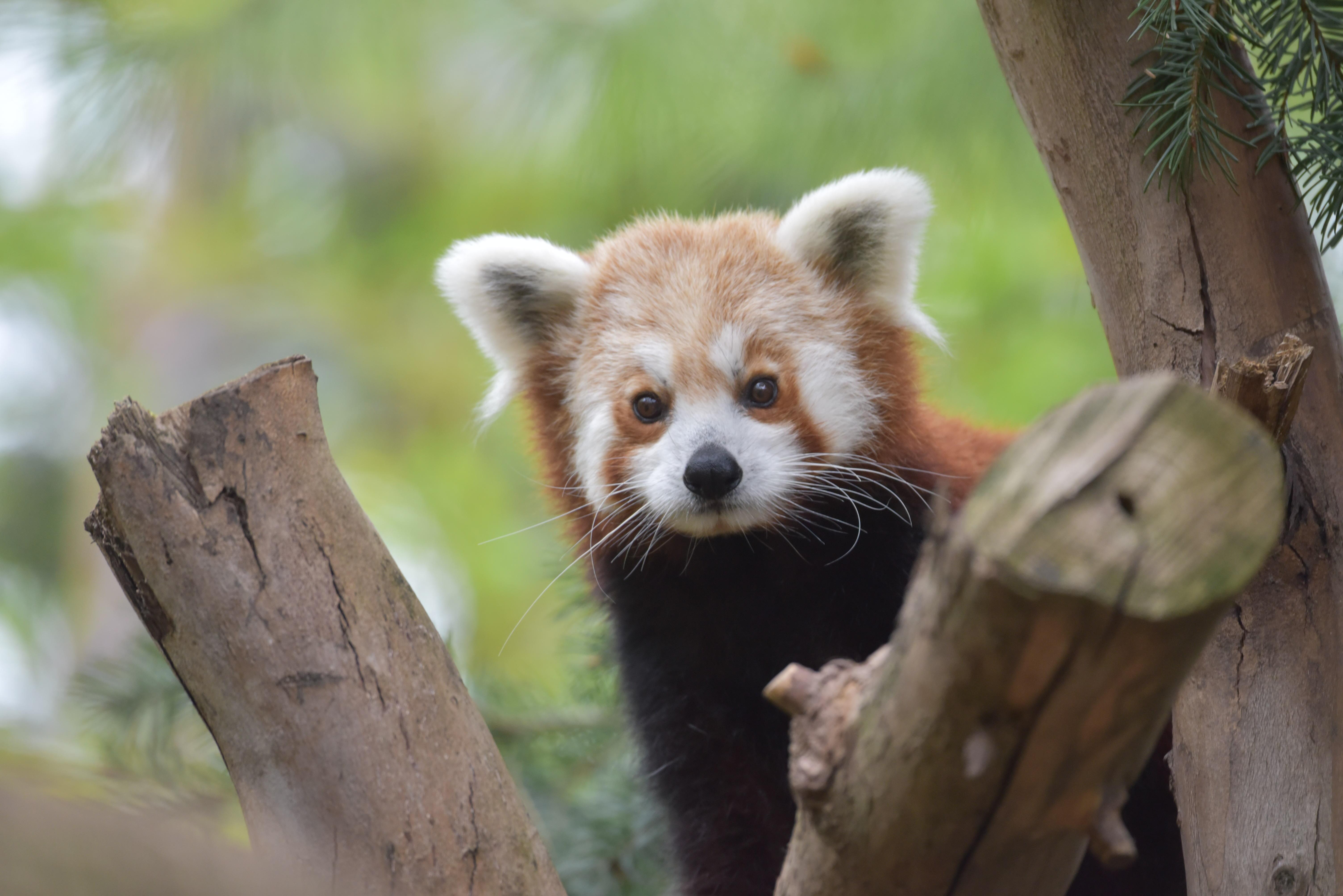 Sacramento Zoo Welcomes Birth Of Endangered Red Panda Cub