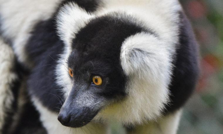 Orzo the Lemur