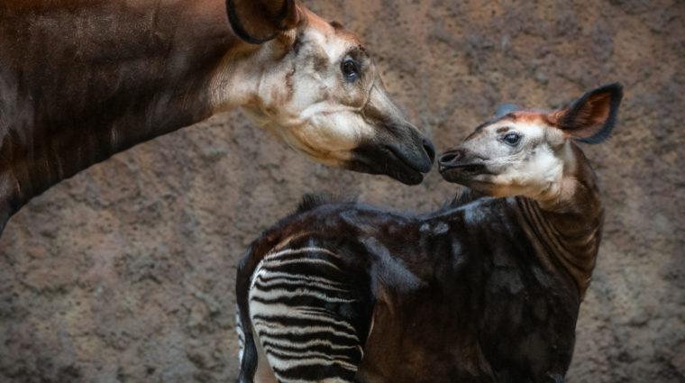 Okapi Mom and Baby by Jamie Pham