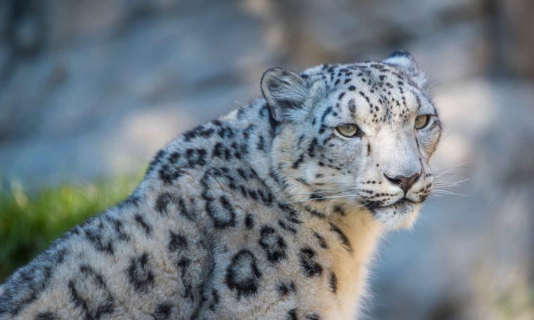 Snow Leopard Misha