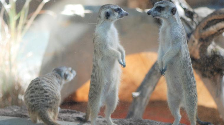 A New Meerkat Clan!