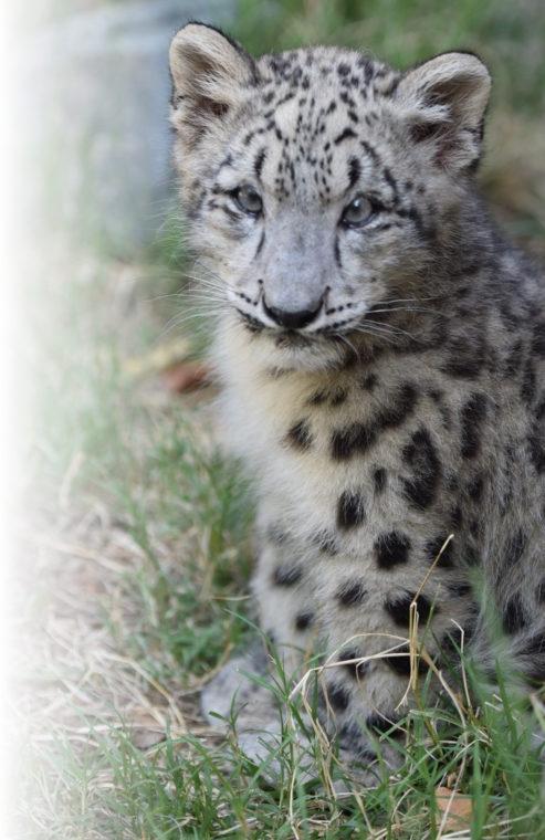 Snow leopard cub Coconut
