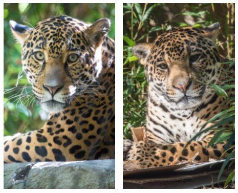 Jaguars Sasha and Tikal