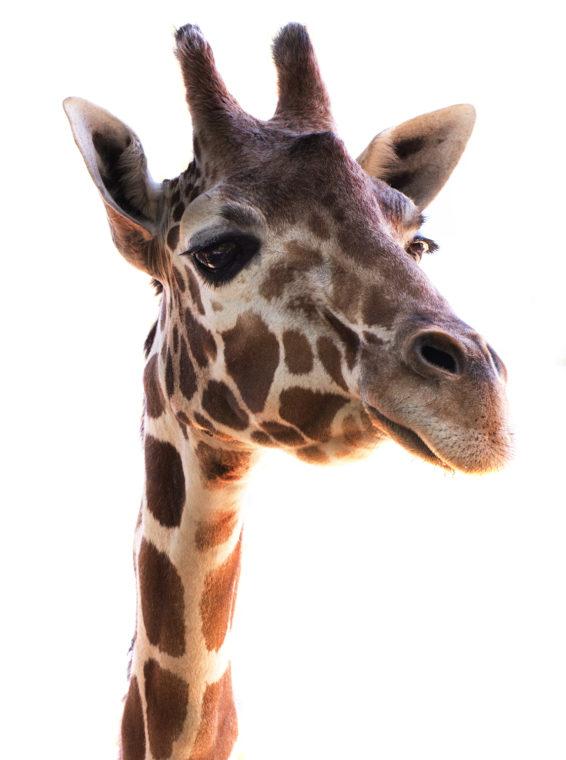 Goody the reticulated giraffe