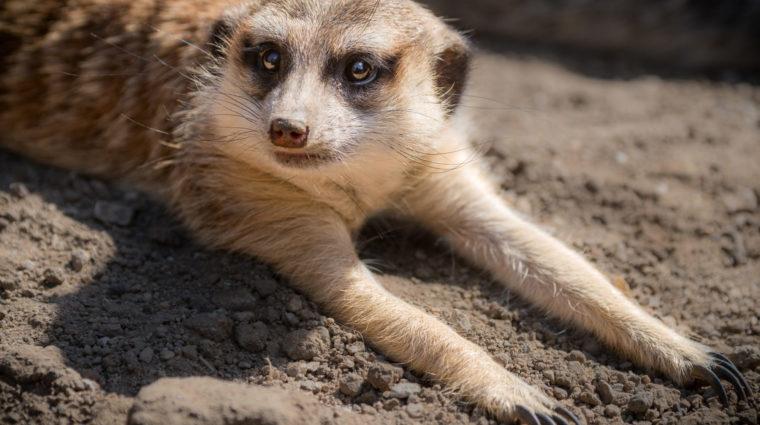 meerkat photo by Jamie Pham