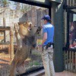 Kamau the lion training with keeper