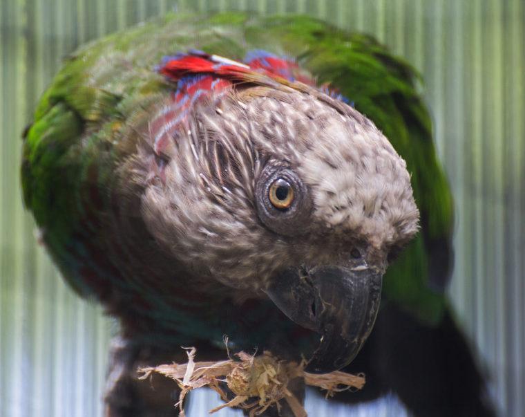 Bert the hawk-headed parrot