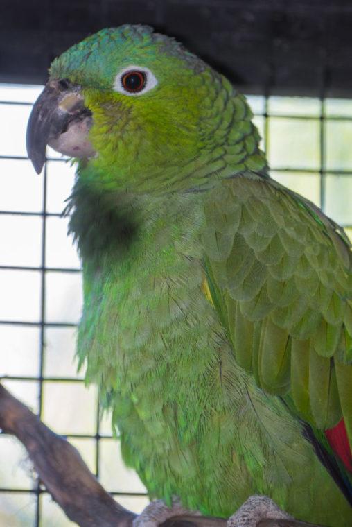 Heinie the plain-colored Amazon parrot