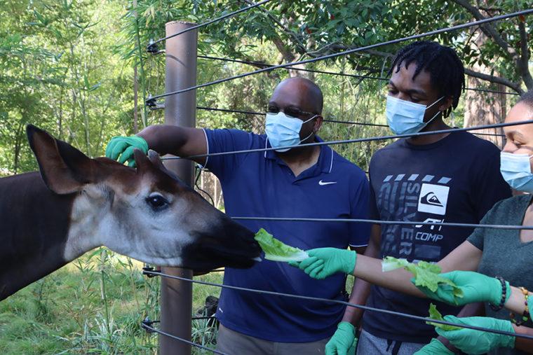 behind-the-scenes okapi feeding