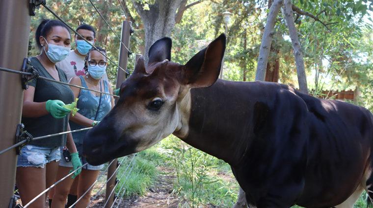 Okapi Feeding during a tour