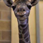 glory the giraffe baby at the sacramento zoo