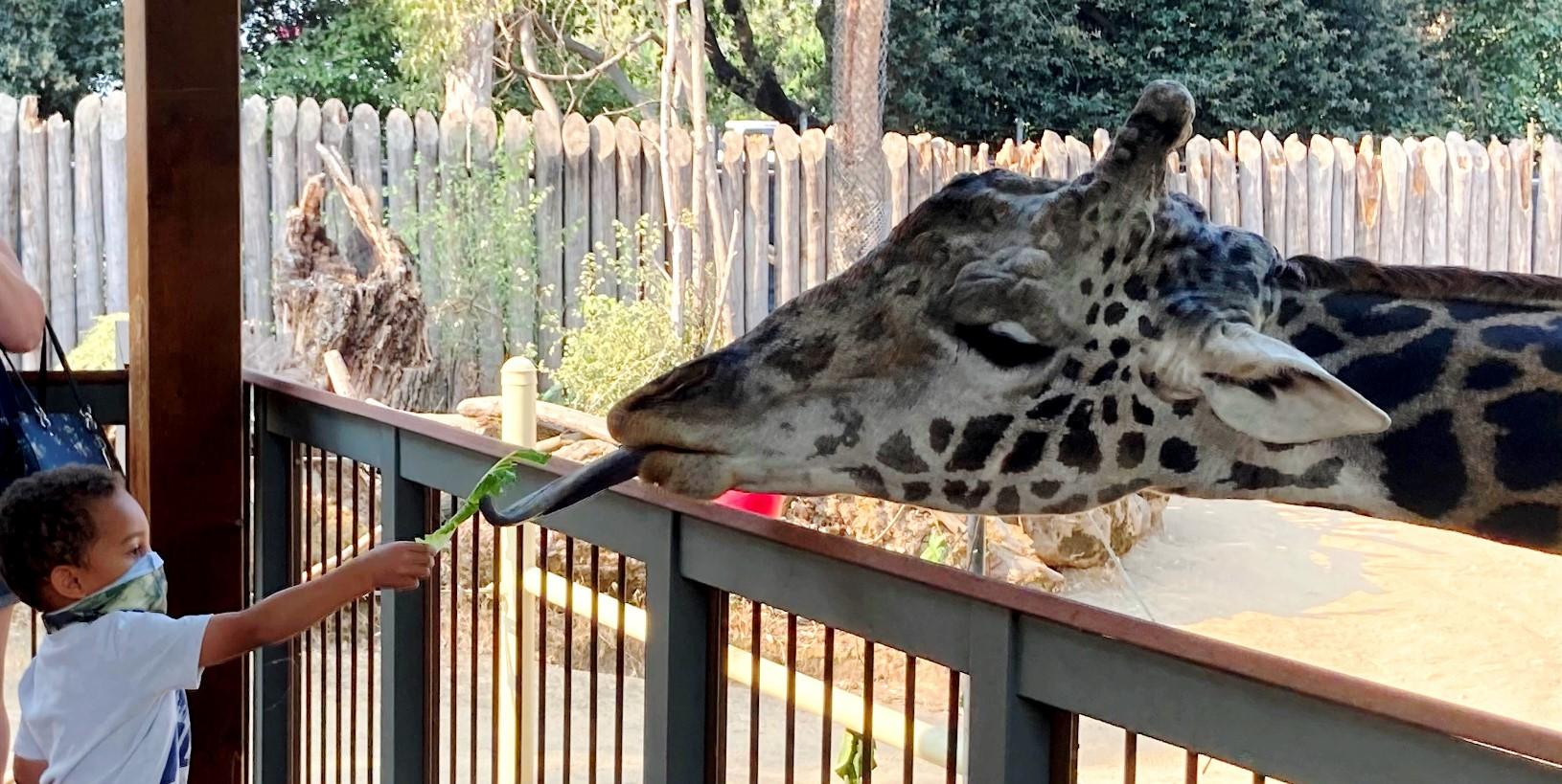 Visitor feeds giraffe at giraffe encounter