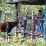 Visitor takes photo of okapi in exhibit