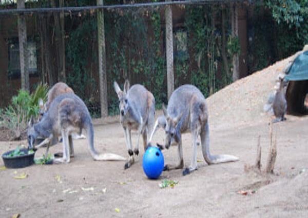 kangaroos playing with enrichment toys